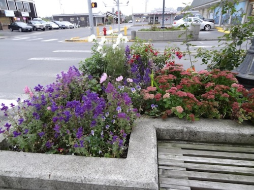still lots of painted sage in the planter by the stoplight