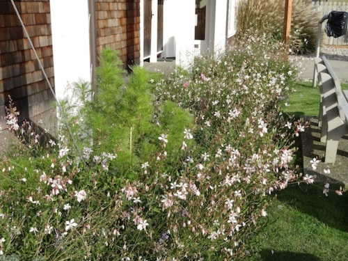 lots of Gaura 'Whirling Butterflies' and another of those non blooming cosmos!