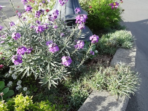 So pleased my Dianthus 'Charles Musgrave' came back. (with Erysimum 'Bowles Mauve')