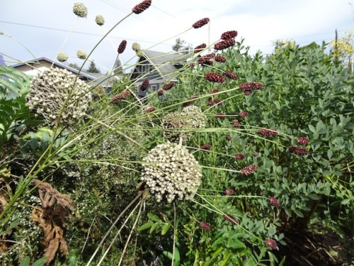 sanguisorba and elephant garlic