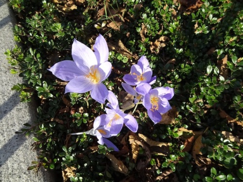 lovely crocus at community building, planted by Kathleen Sayce