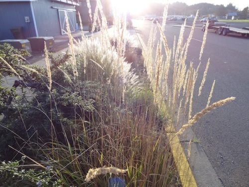 ornamental grass with setting sun