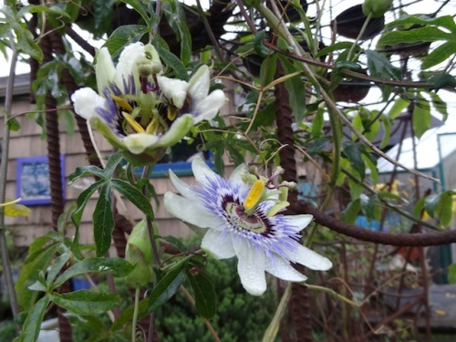 Several passion flowers still bloom on the arbour near the greenhouse.