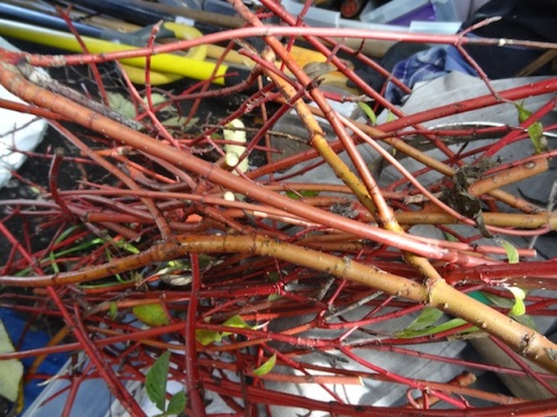 I saved some red twig dogwood stems from the debris generated by pruning one at Shorebank. They make good winter decorations.