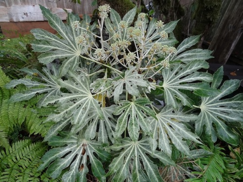 Fatsia japonica 'Spider's Web' was available down at Seven Dees; here it is in Allan's garden.