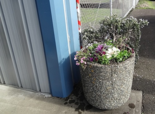 First thing: some kale and violas into the planter at Peninsula Sanitation office, by request