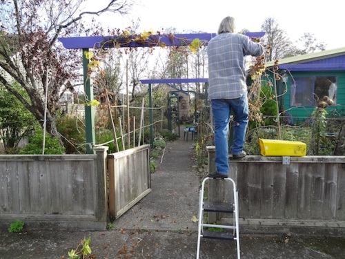Allan putting hops on the arbour.