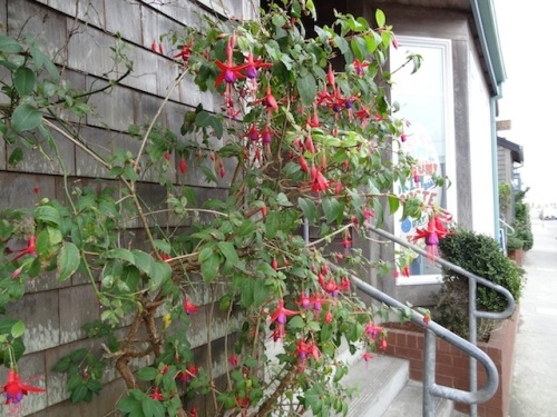 hardy fuchsias on a side street