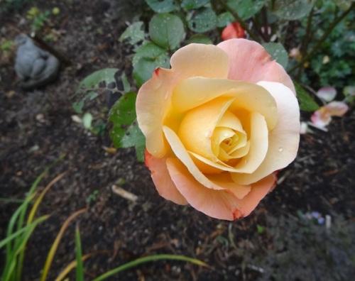an autumn rose