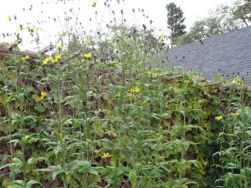 Coreopsis 'Flower Tower' still flowering