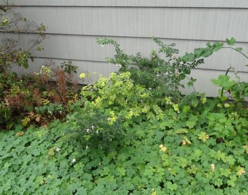 Fuchsia 'Sharpitor Aurea' or 'Sharpton's Aurea' reverting to green