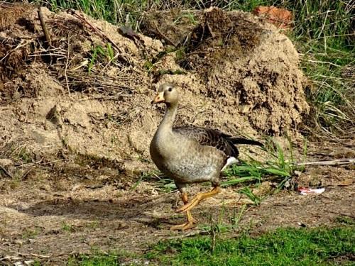 a cute duck at the debris dump (Allan's photo)