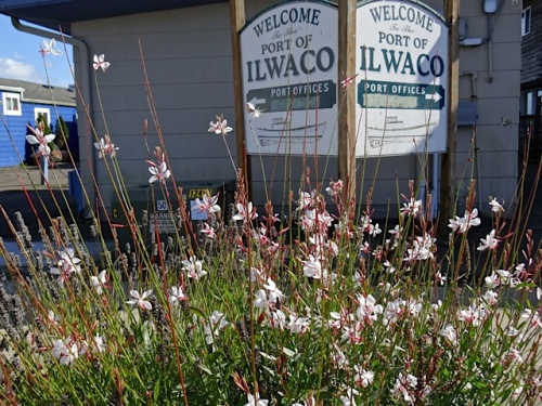Allan's photo: Gaura 'Whirling Butterflies' in one of our curbside gardens