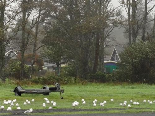 gulls hunkered down in the field behind our house