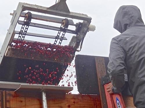 cranberry conveyer (Allan's photo)