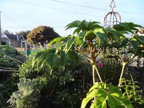 front garden, Tetrapanax 'Steroidal Giant'