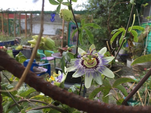 speaking of which: passion flower still blooming