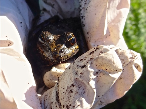 Allan's photo: a large frog in my gloved hands, disturbed in the front garden