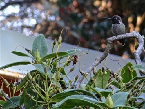 a hummingbird by the deck (Allan's photo)