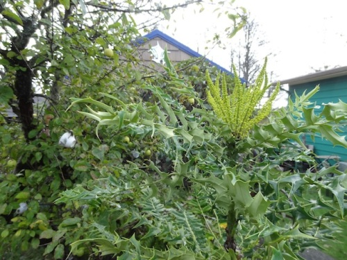 tall mahonia blooming in Allan's garden