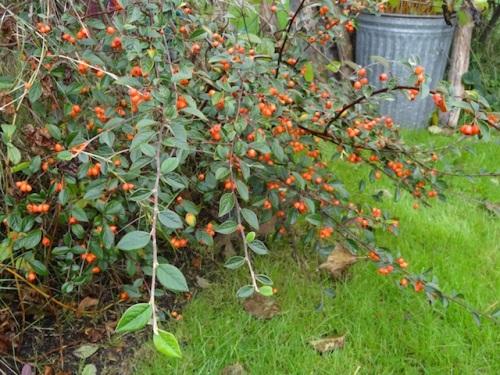 ceanothus berries