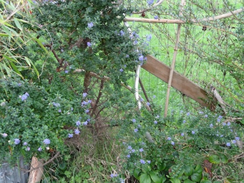 seems off-season for ceanothus to be re-blooming.