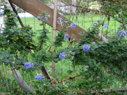 Ceanothus 'Dark Star' (love the name)