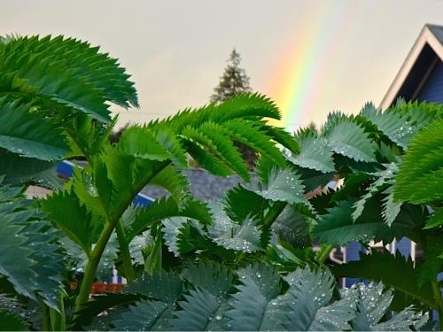 Allan's photo: rainbow over Melianthus major