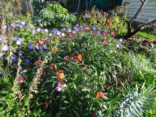 Erysimum 'Winter Orchid' and Geranium 'Rozanne'