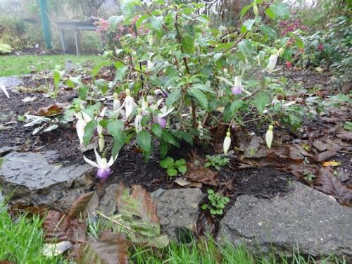 hardy fuchsias still blooming