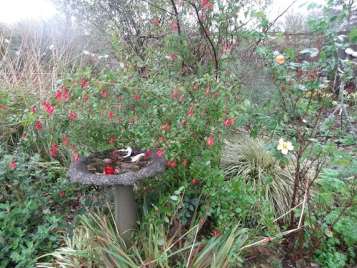 Fuchsia magellanica and some late roses (Radway Sunrise)