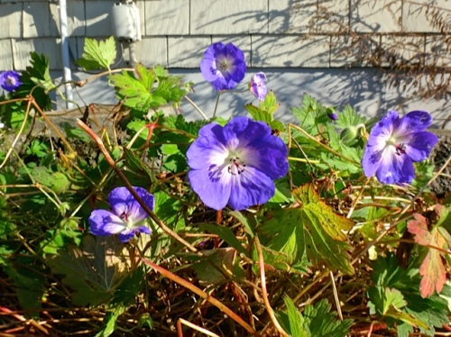Geranium 'Rozanne' still blooming. Allan was shocked when I clipped it, but I knew the first frost will bring it down.