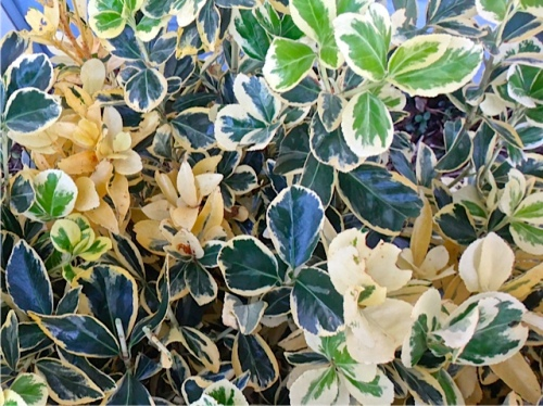 the Euonymus in question (Allan's photo)