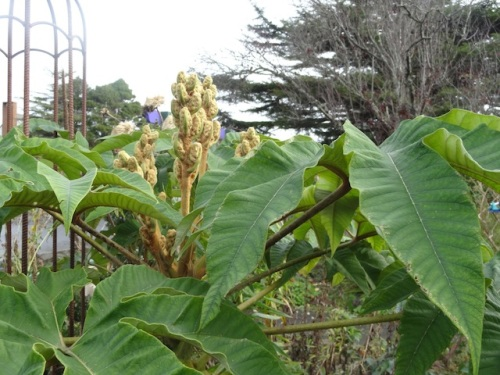 Tetrapanax flower buds...Could it possibly stay mild enough for them to actually burst into white flowers??