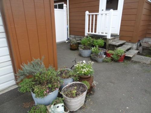 The back yard planters will need a post frost clean up...