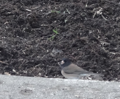 with Junco close up