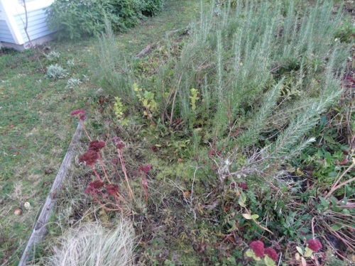 invasion of weedy grass, beach strawberry, and creeping sorrel climbing over the edging board.