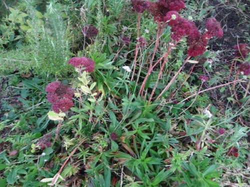 more SE quadrant mess: too much blue scabiosa and (sadly) too much Sweet William.