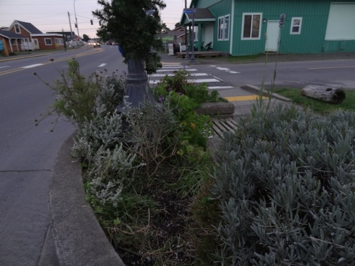 the southernmost planter, and the last cosmos in town about to be pulled