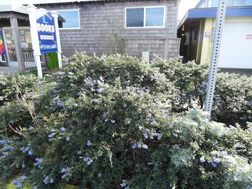 Time Enough Books garden with ceanothus in full bloom, again