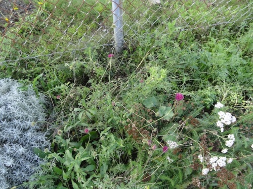 Knautia macedonica still blooming; lots of poppy seedlings