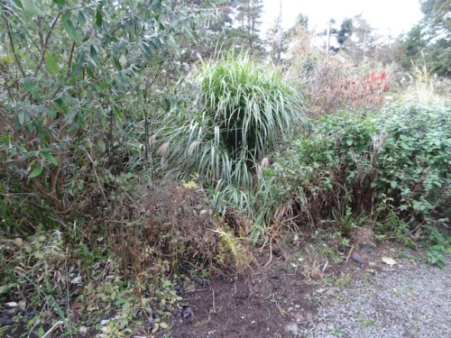 before: another miscanthus that had grown a fresh new center after the outside flopped open.