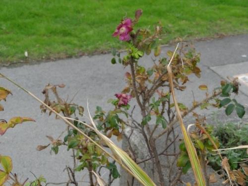 One last rugosa rose flower.