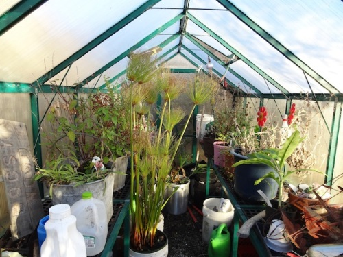 We hauled a few more plants into the greenhouse.