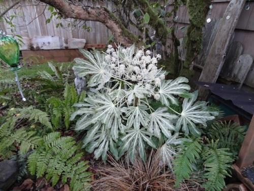 Fatsia japonica 'Spider's Web' in Allan's garden