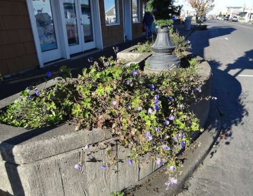 Meanwhile, I trimmed any planters that looked like this...blue flowers or not...they had to go today.
