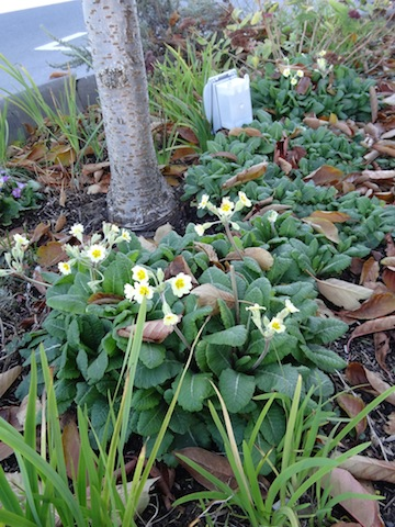 primroses under the tree in front of Malai Thai restaurant.