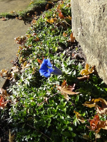 surprise: a gentian still blooming