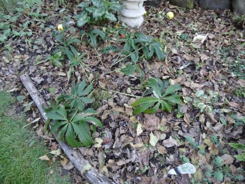main project of the afternoon: clip old foliage off the hellebores