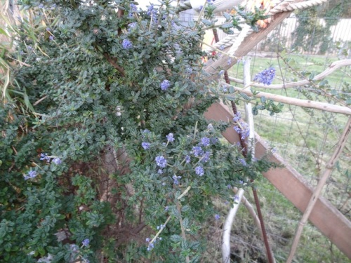 Ceanothus 'Dark Knight' is reblooming.